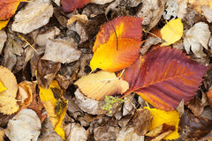 Colorful fallen dry autumnal leaves Stock Photos
