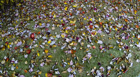 Scattered Autumn leaves on green grass Royalty Free Stock Photo