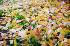 Colorful fallen leaves. Lying in the green grass Royalty Free Stock Photography