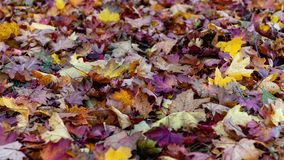 Colorful fallen leaves lying on the ground in the park, beautiful autumn outdoor background, royalty free stock image
