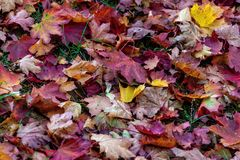 Colorful fallen leaves lying on the ground in the park, beautiful autumn outdoor background, royalty free stock photos