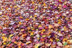 Colorful fallen leaves lying on the ground in the park, beautiful autumn outdoor background, stock photo
