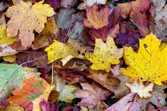 Colorful fallen leaves lying on the ground in the park, beautiful autumn outdoor background, stock images