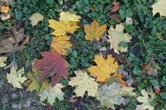Colorful fallen leaves of maple in the leafage of Glechoma hederacea. From above Stock Photos