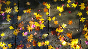 Colorful fallen leaves under first snow on asphalt path in autumn. Stock Photo