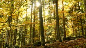 Autumn leaves wood forest move nature stock video