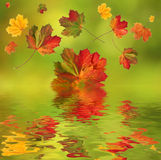 Colorful falling leaves in autumn. Colorful autumnal maple leaves falling in the water with water reflections Stock Photography