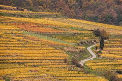 Colorful Vineyard in Wachau valley in Austria. Stock Photography