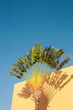 A colorful fan palm. A fan palm against blue sky Royalty Free Stock Photo