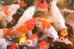 Colorful fancy carp fish. Abstract blur for background Stock Image