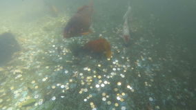 Colorful fancy carp fish koi underwater. Colorful fancy carp fish koi swimming in a pond. Underwater video. Lot of coins on the bottom stock video