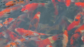 Colorful fancy carps fish swimming in pond. stock video footage