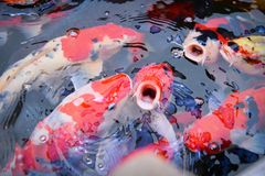 Colorful fancy koi fish on the surface water - beautiful fish carp swimming in the pond garden enjoy feed food floating. Colorful fancy koi fish on the surface royalty free stock photography