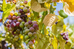 Colorful Farm Country Grapes Royalty Free Stock Photos
