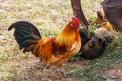 Colorful Farm Rooster Royalty Free Stock Images