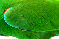 Colorful feather, male Eclectus Parrot, age five months. Selecti Royalty Free Stock Images