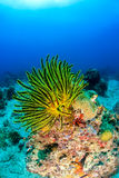 Colorful Feather Stars on a coral reef Royalty Free Stock Images