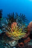 Colorful Feather Stars on Reef Stock Image