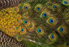 Colorful feathered tail of a male peacock as background. And texture Royalty Free Stock Image