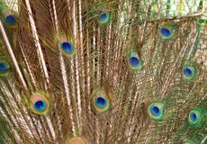 Colorful feathered tail of a male peacock as background. And texture Royalty Free Stock Photos
