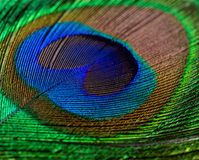 Colorful feathered tail of male peacock close up. Colorful feathered tail of a male peacock close up royalty free stock photos