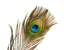 Colorful feathered tail of male peacock on white background. Colorful feathered tail of a male peacock on white background stock photography