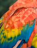 Colorful Feathers. Of a Scarlet Macaw (Ara macao) is a large, colorful parrot. Some consider the Scarlet to be among the most beautiful birds in the world Photo royalty free stock images