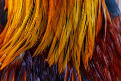 Colorful feathers, chicken feathers background texture.  Royalty Free Stock Photos