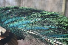 Colorful feathers of a peacock - can be used as a background. Colorful feathers of a peacock with blue and green feathers - can be used as a background stock image