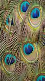 Colorful feathers of a peacock stock image