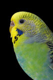 A colorful female budgie Royalty Free Stock Image