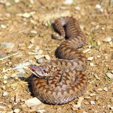Colorful female common european adder. ( Vipera berus Stock Image