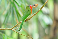 A colorful female Red-bearded Bee-eater Royalty Free Stock Photo