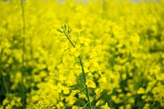 Colorful Field of blooming Raps. Plantation of an oil plant. Production of biofuel stock photography