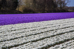 Colorful field of crocuses in Netherlands in Spring Stock Photos