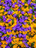 Colorful field of Crocuses Royalty Free Stock Photo