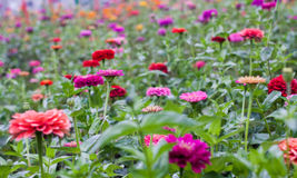 Colorful Field of Zinnias Royalty Free Stock Images