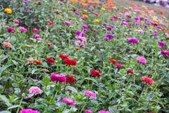 Colorful Field of Zinnias Stock Photos