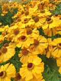 A colorful field filled with bright yellow Helenium flowers. A colorful field filled with bright yellow Helenium Autumnale flowers also known as Sneezeweed Stock Photo
