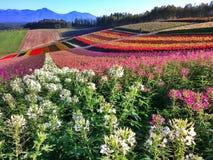 Colorful field. Flower farm in Furano Sapporo Hokkaido Stock Image