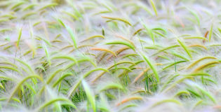 Colorful field of Fox tail plants too Royalty Free Stock Photos