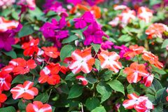 Free Colorful Field Of Busy Lizzie, Scientific Name Impatiens Walleriana Flowers Also Called Balsam, Flowerbed Of Blossoms. Impatiens Stock Photo - 166842280
