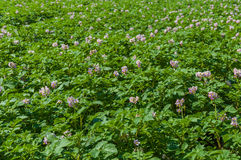 Colorful field with purple blooming potato plants Royalty Free Stock Photography