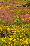 Colorful field of purple and yellow flowers. Cape of Frehel. Royalty Free Stock Images
