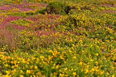 Colorful field of purple and yellow flowers. Cape of Frehel. Royalty Free Stock Photos