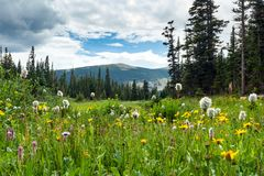 Colorful field of spring wildflowers in Colorado Mountain landscape royalty free stock photo