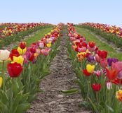 Colorful field of tulips Royalty Free Stock Photography