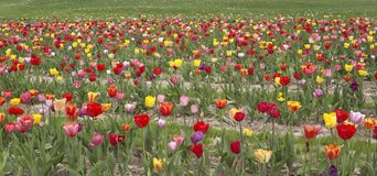 Colorful field of tulips Royalty Free Stock Photo