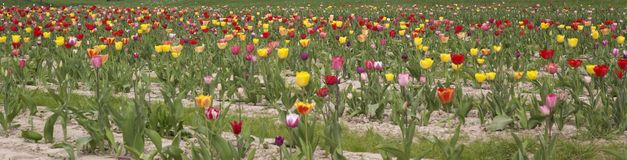 Colorful field of tulips Royalty Free Stock Photos