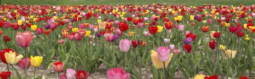 Colorful field of tulips Royalty Free Stock Image